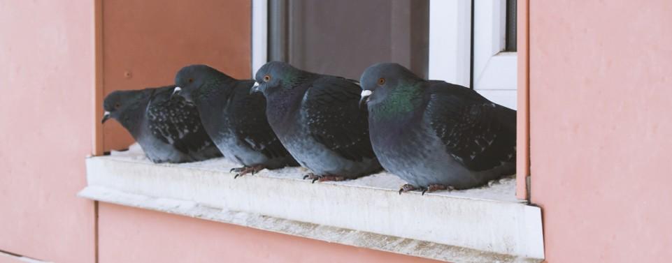 Mieter füttert Tauben aus dem Fenster heraus: Fristlose Kündigung!